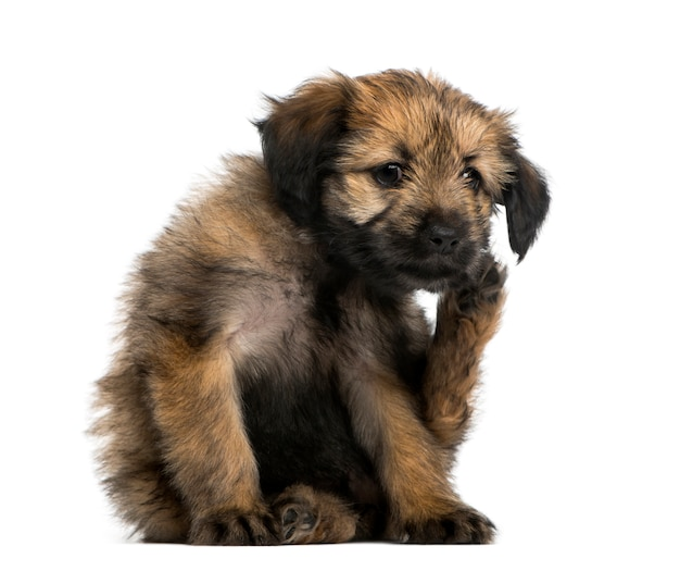 Crossbreed puppy scratching itself