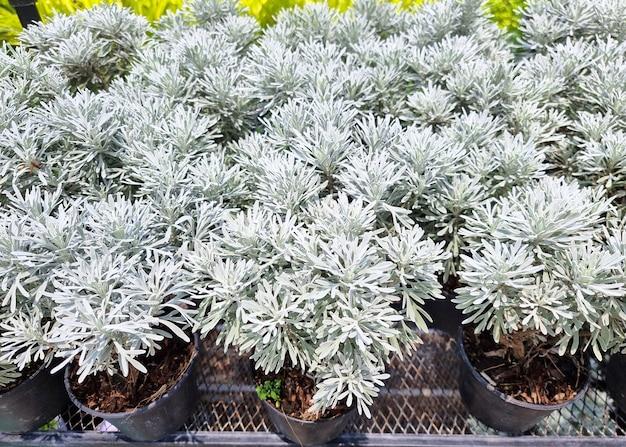 Crossostephium in the ornamental plants farm