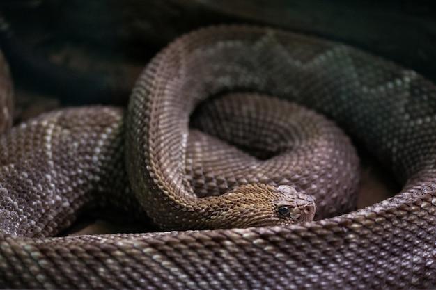 Южноамериканская гремучая змея. crotalus durissus terrificus.
