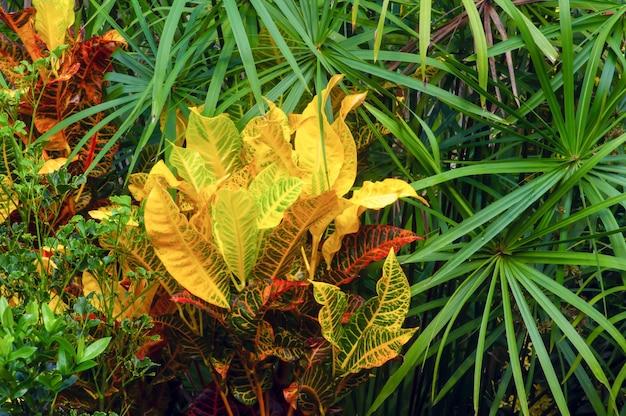 クロトン(codiaeum variegatum)とシュロガヤツリ(umbrella papyrus)、厳選された焦点、多くの品種とかなりカラフルな葉を持つ人気の観葉植物、自然な背景