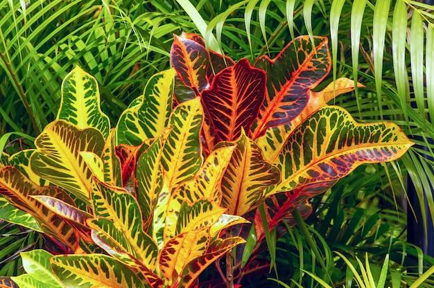クロトン、codiaeum variegatumは、多くの品種とかなりカラフルな葉を持つ信者がいる人気の観葉植物です