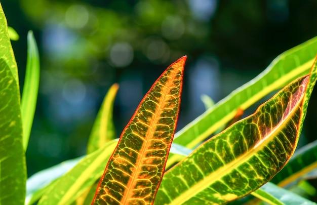 クロトン(codiaeum variegatum)、厳選された焦点、多くの品種とかなりカラフルな葉を持つ人気の観葉植物、自然な背景