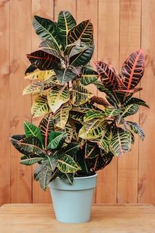 Кротон завод крупным планом. ботаническое название - codiaeum variegatum. фон из натурального дерева, копия пространства для текста. красивые комнатные растения