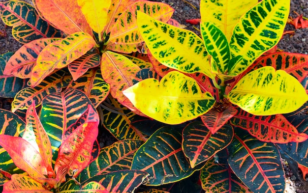 Croton plant texture