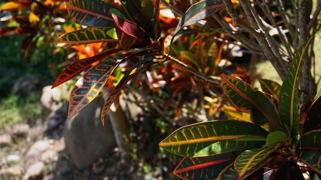 クロトン、斑入りの月桂樹、クロトンの葉のクローズアップ、タイの植物、クロトンの葉は美しい観賞用の木です。カラフルなクロトンの葉の背景