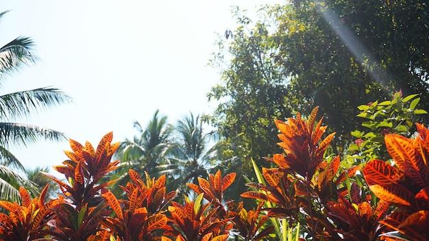 クロトン、斑入りの月桂樹、クロトンの葉のクローズアップ、タイの植物、太陽と明るい空の下でクロトンの葉。カラフルなクロトンの葉の背景