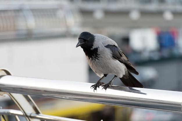 座っているカラスの黒い鳥。屋外の黒い羽を持つワタリガラス。ワタリガラスの肖像画。ハロウィーンのシンボルの鳥。ワタリガラスのクローズアップ。自然の生息地の野生動物。不運と死の象徴。