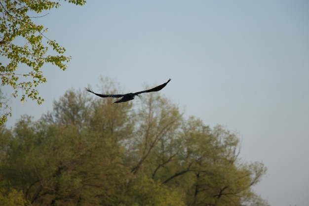 A crow in flyght
