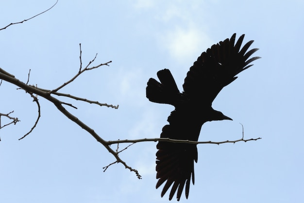 A crow flying from a tree and clound background