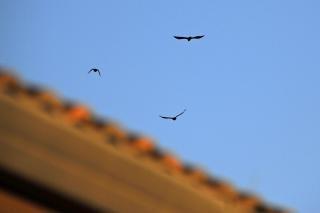 Crow flyover
