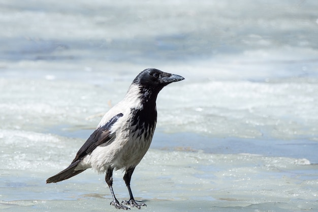 The crow on the ice
