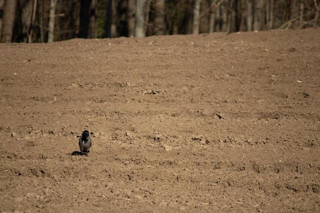 숲 근처 보았다고 필드에 까마귀