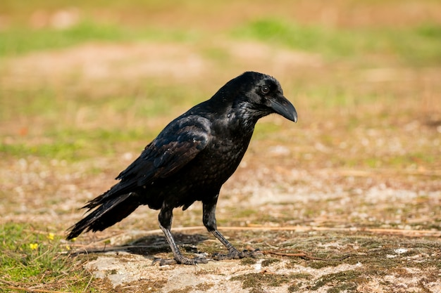 Crow in the nature
