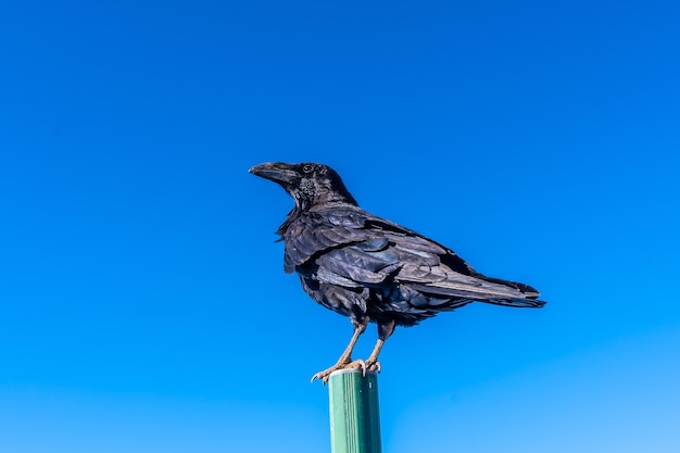 Crow on a road sign with blue sky