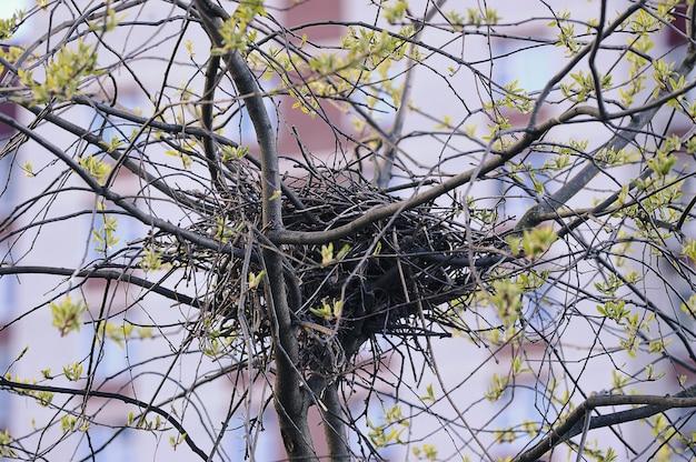 木の上のカラスの巣-巣のある春の木