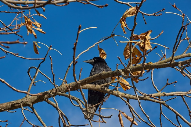 A crow sits on a chestnut branch in the town square.