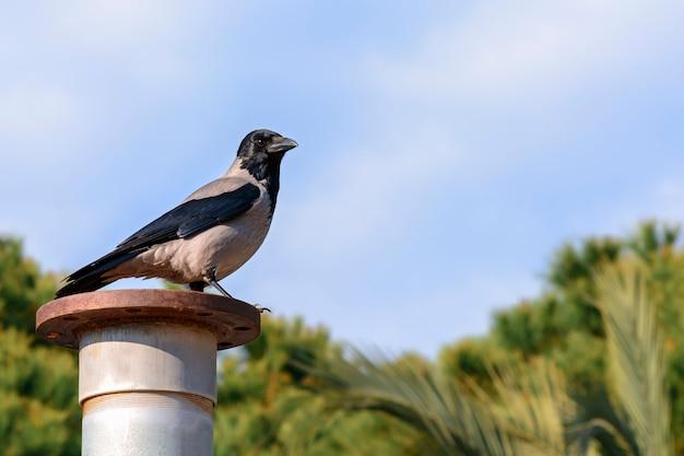 Ворона сидит на ржавой трубе на фоне неба и деревьев