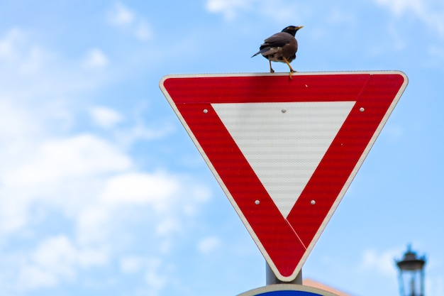 Crow sitting on give way road sign in a street