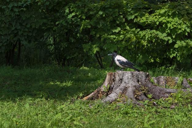 緑の森に切り株に座っているカラス。