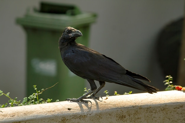 Crow on the wall