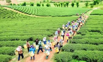 Толпа сборщика чая, сбор листьев чая на плантации, Чианг Рай, Таиланд