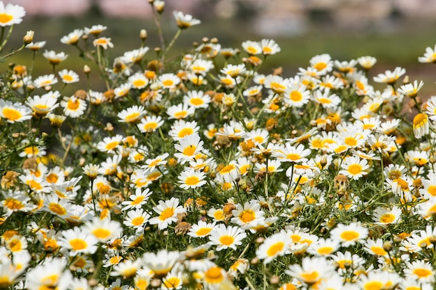 Crown daisies in the countryside.