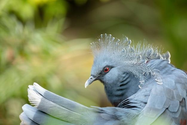 美しいビクトリアcrown冠鳩-goura victoria。尾羽と頭