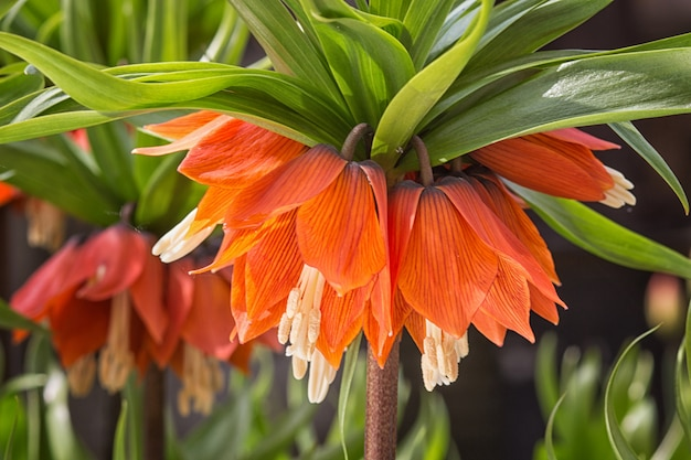 Crown imperial fritillary flowers