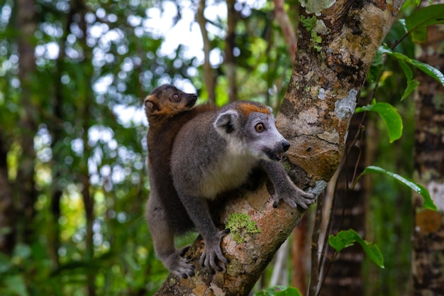The crown lemur on a tree in the rainforest of madagascar