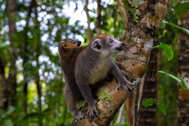 Crown lemur on a tree in the rainforest of madagascar