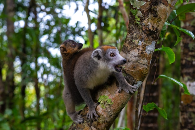 The crown lemur on a tree