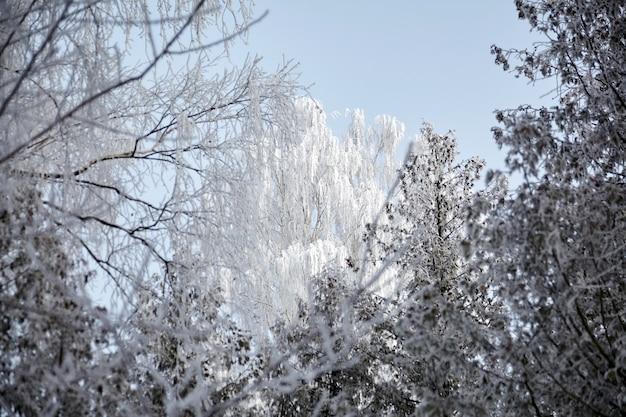 霜の白樺の冠。冬の落葉性森林。白い雪に覆われた木