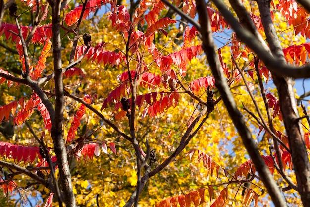 가을 시즌에 붉은 색과 오렌지색 잎이있는 나무의 왕관, 아래에서 확대보기