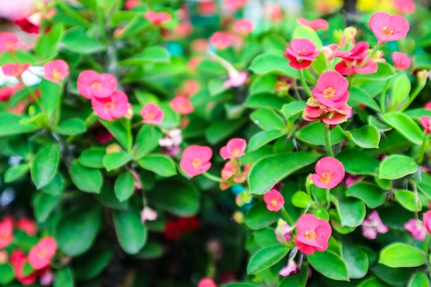 Crown of thorns, christ thorn red flower found in tropical countries