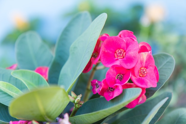 Crown of thorns flowers : euphorbia milli desmoul flower