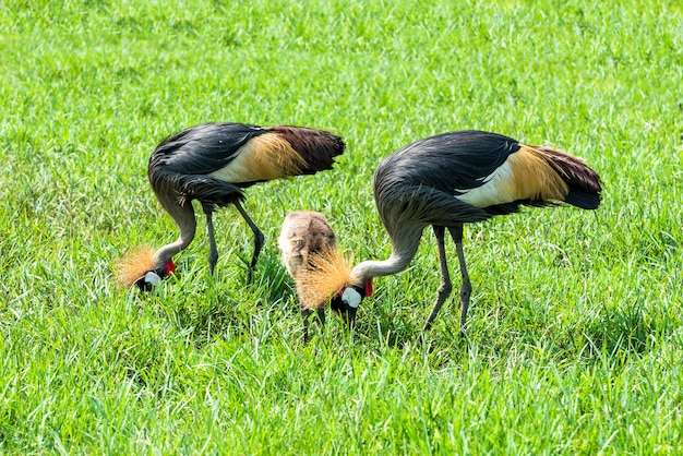 Crowned crane (balearica regulorum) in green savannah.