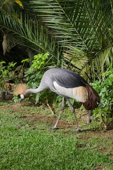 Crowned crane exotic bird.