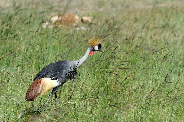 Венценосный журавль в национальном заповеднике африки, кения