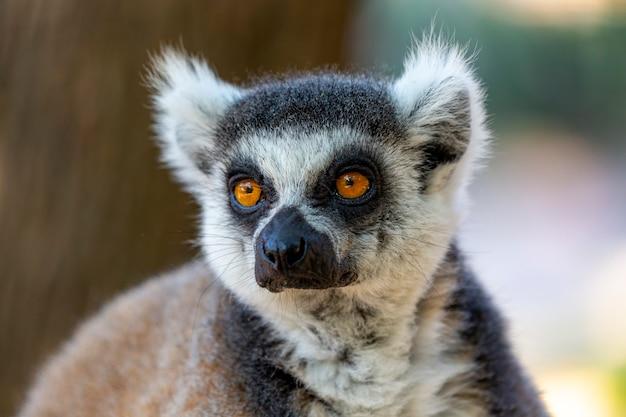 Венценосный лемур (lemur catta) с широко открытыми глазами. пушистый мадагаскарский серо-черный жирный забавный лемур сидит на ветке в лесу. млекопитающее с полосатым хвостом. кошачий лемур сидит на дереве