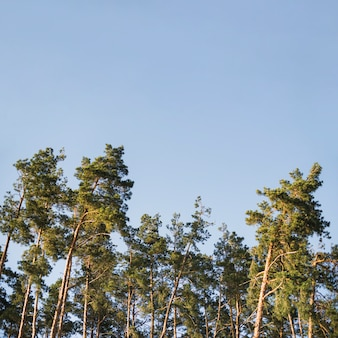 Crowns of forest trees