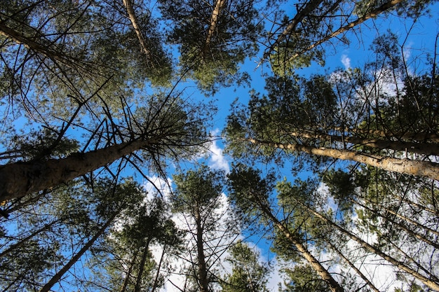 Crowns of pines against the sky with clouds