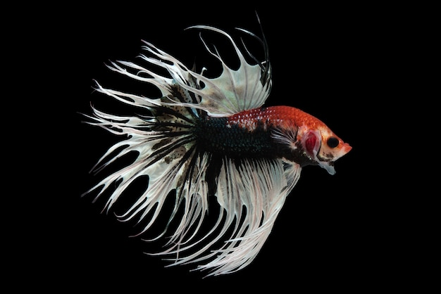 Необычный crowntail betta fish