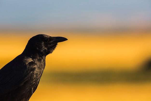 スペイン、カタルーニャ、リェイダ、モンガイの春のカラス(corvus corax)。ヨーロッパ