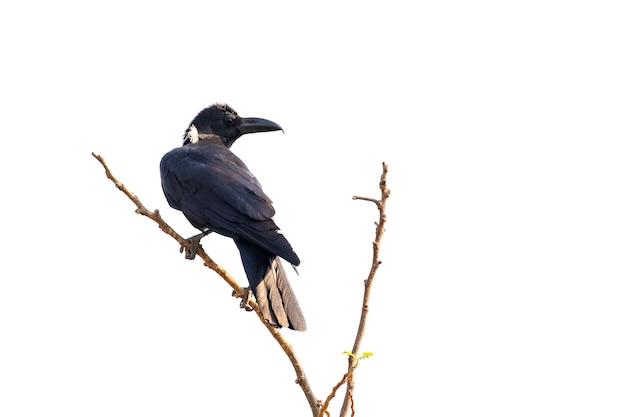 白いシーンで隔離された枝のカラス。鳥。野生動物。