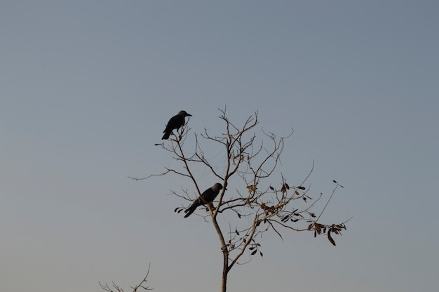 하늘 배경으로 죽은 나무에 까마귀