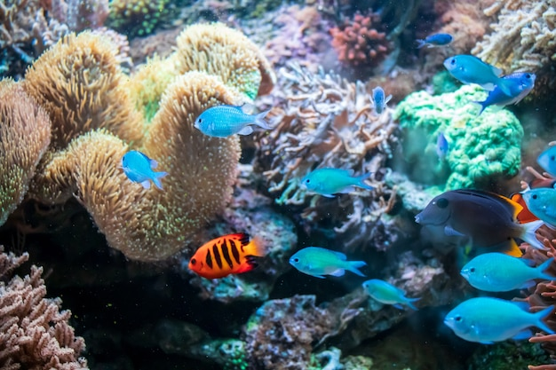 Ctenochaetus tominiensis, flame angelfish, blue malawi cichlids fishes 및 actinia coral
