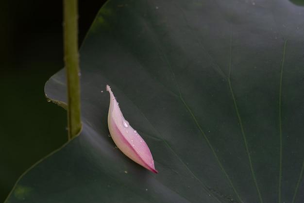 녹색 연꽃 잎에 cu 분홍색 연꽃 꽃잎