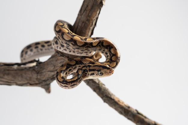 Cub of a boa constrictor on a wooden branch on a white surface