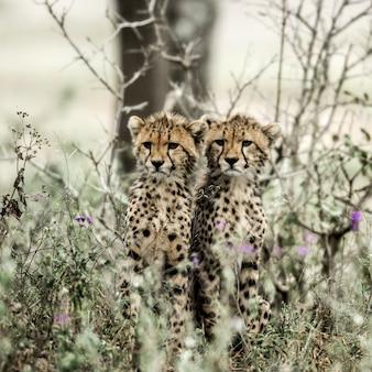 Детеныши гепардов в национальном парке серенгети