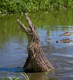 Кубинский крокодил прыгает из воды
